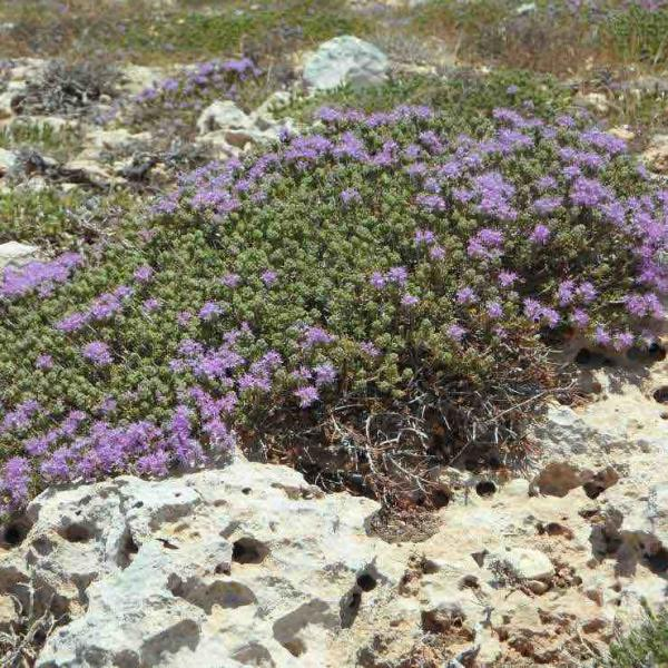 Thymian blüht auf der griechischen Insel
