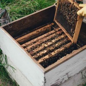 Honig aus Thymianpollen,