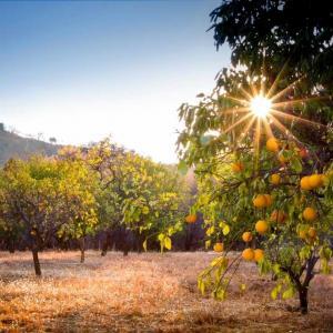 Orangenhain ►Orangenbäume auf den Peloponnes | GOURMETMANUFACTORYshop