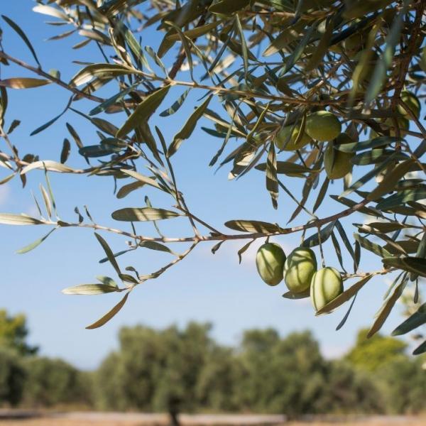 Oliven am Olivenbaum
