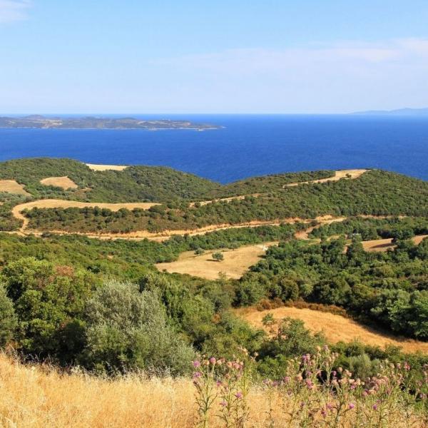 Olivenhain ► Chalkidiki Olivenbäume   GOURMETmanufactory