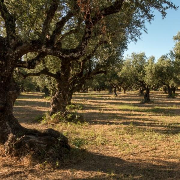 Olivenbaum ► Olivenhain Griechenland   GOURMETmanufactory