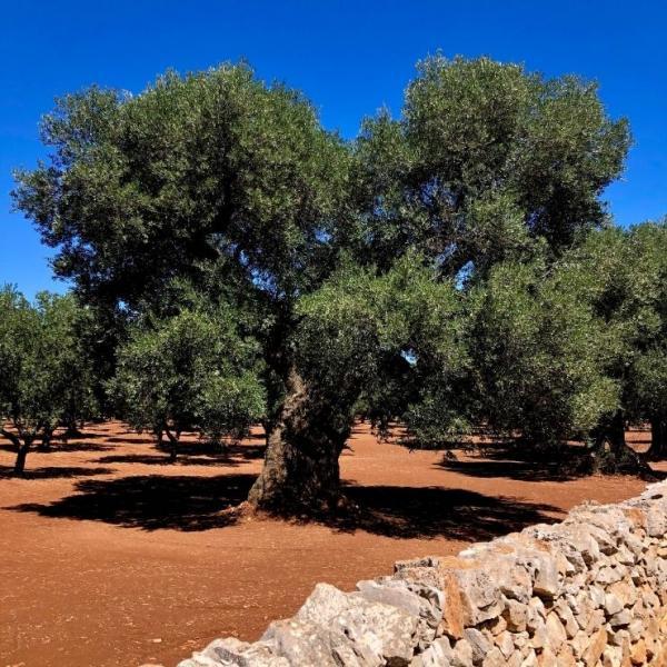 Terra del Mare Olivenöl ►Olivenbaum  GOURMETmanufactory